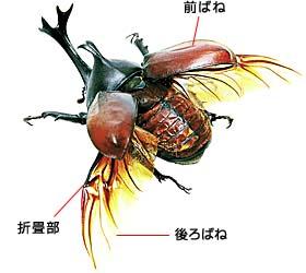 カブトムシの画像 p1_27