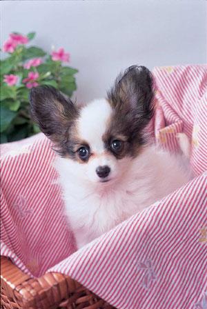 パピヨン パピヨン | ペットいっぱい 犬種図鑑 ツイート ア行 アーフェンピンシャー アイスラ