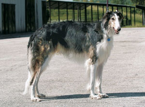 ボルゾイ ボルゾイ   ペットいっぱい 犬種図鑑 ツイート ア行 アーフェンピンシャー アイスラ