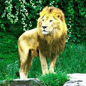 ライオンの画像 p1_5