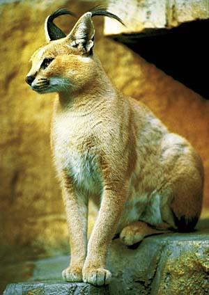 カラカル 体 長 60~92cm  ペットいっぱい 動物図鑑 カラカル 食肉目 ネコ科