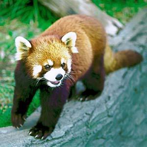レッサーパンダの画像 p1_2