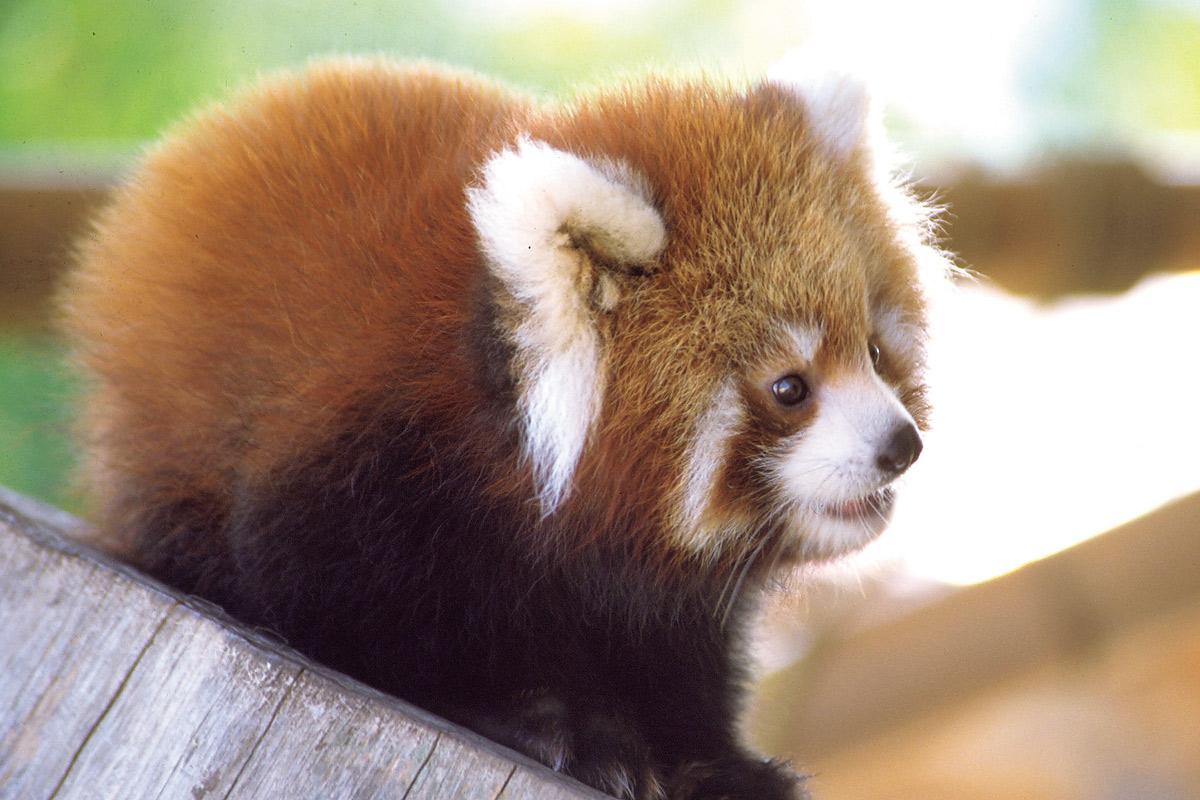 外で木の上に座る小さなレッサーパンダの赤ちゃん